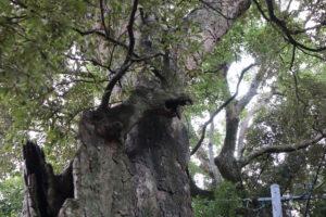 龍の顔に見える御神木の枝